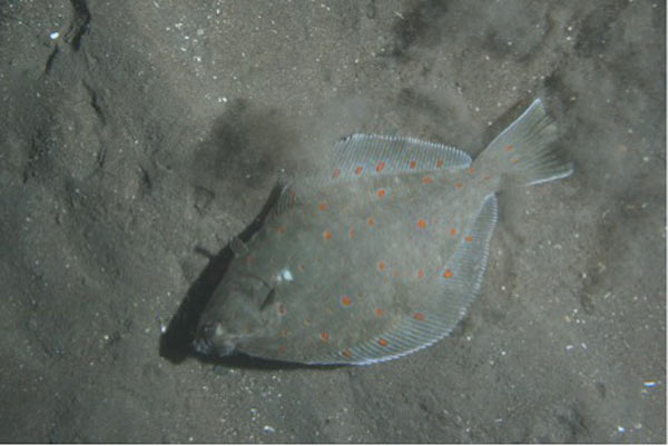 Plaice (Pleuronectes platessa), a commercially important flatfish species. Photo by: Andrew Johnson