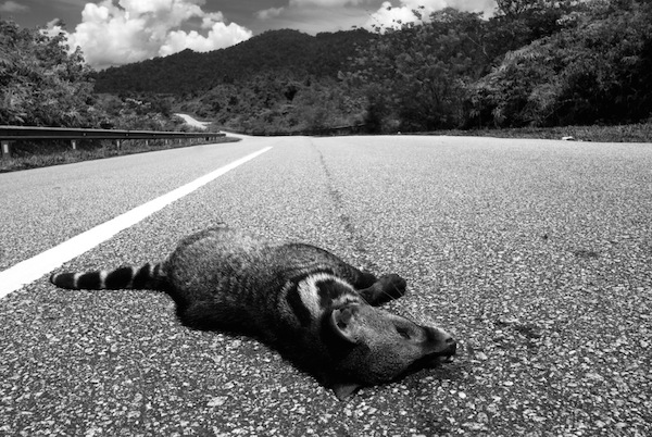 A large Indian civet hit and killed by a car in Peninsular Malaysia. Photo by WY Lam.
