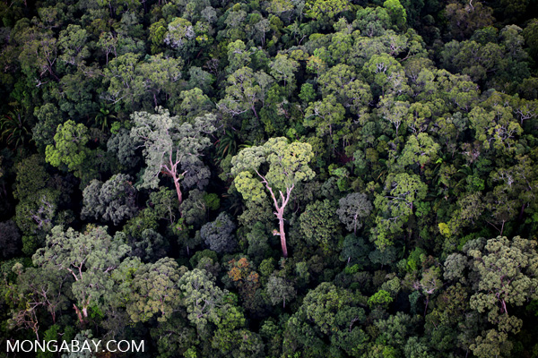 Old-growth rainforest in Malaysian Borneo