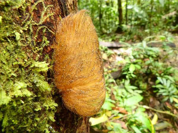 The toxic caterpillar in the Megalopygidae family. Photo by: Wendy Valencia.