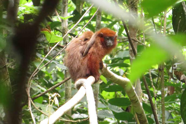 Another photo of the mystery titi monkey. Photo by: Brian O'Shea.