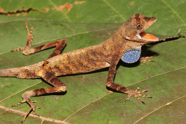 Gorgeous Amazonian lizard from the Tapiche-Blanco region. Photo by: Giussepe Gagliardi Urrutia.