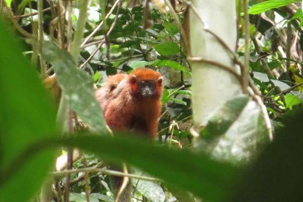 Possible new titi monkey or a new color morph of coppery titi. Photo by: Brian O'Shea.