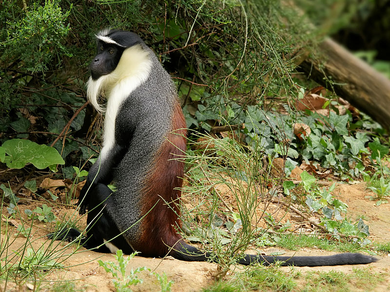 Roloway Monkey in captivity, one of the primate species that can be found in the Côte d'Ivoire. Photo credit: Hans Hillewaert under a Creative Commons Attribution-Share Alike 3.0 Unported license.