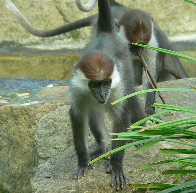 Collared mangabey (Cercocebus torquatus).  Another primate species found in Côte d'Ivoire. Photo credit: BS Thurner Hof under a CC BY-SA 3.0 license.