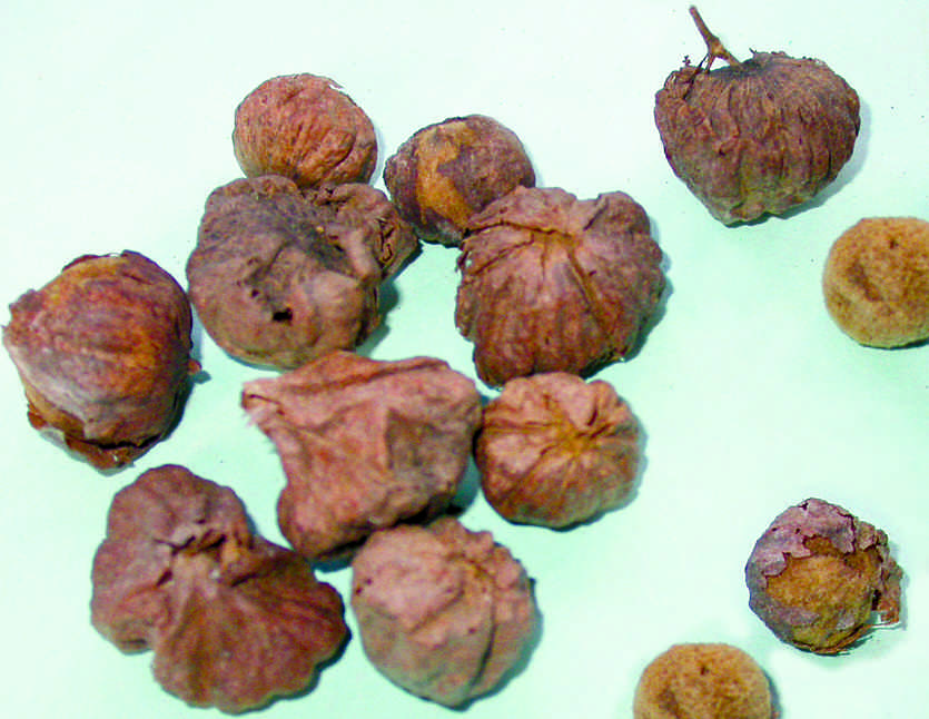 Heavy and round, teak fruits do not disperse far from the parent tree. Photo credit: Keystone Foundation, Flora of the Nilgiris.