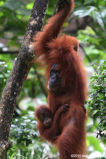 Mother and baby orangutan in rainforest of Sumatra, Indonesia. Photo credit: Rhett Butler