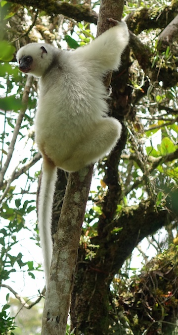 One of the rarest animals in the word, the silky sifaka. Anjanaharibe-Sud Special Reserve may house as much as 40 percent of the world's remaining silky sifaka population. Photo courtesy of Erik Patel.