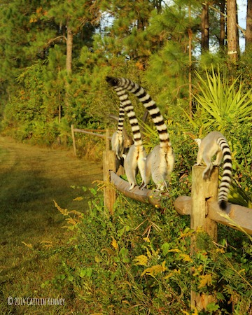 Ring-tailed lemurs (Lemur catta) at the Lemur Conservation Foundation's reserve in Myakka City, Florida. In addition to in-situ conservation work done in Madagascar, the Lemur Conservation Foundation houses 48 free-ranging lemurs to study in an ex-situ environment. Photo courtesy of Caitlin Kenney.