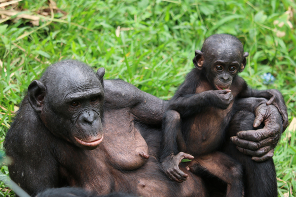 Elder and young bonobo. Photo courtesy of Lola Ya Bonobo.