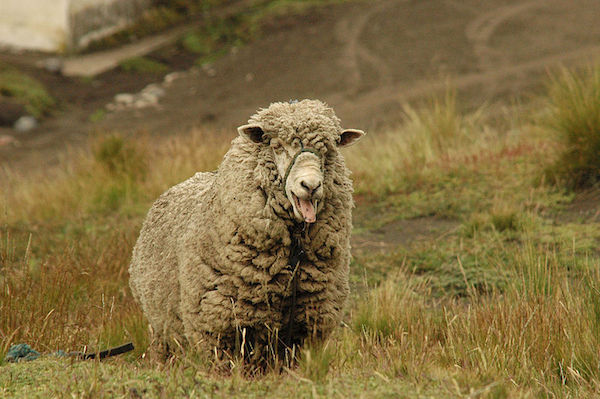 A pastured sheep near the Chimborazo volcano in the Ecuadorian Andes. Photo by Guido Alvarez.