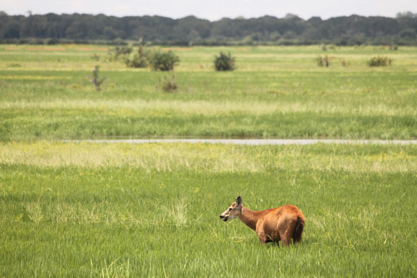 A marsh deer (Blastocerus dichotomus) grazes in a flooded rice field that was once forest. Photo credit: Brendan Borrell