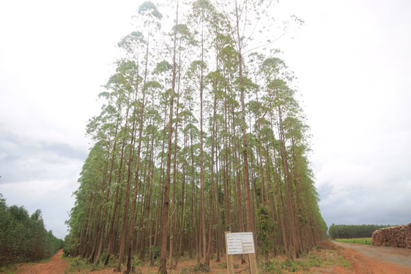 A stand of eucalyptus trees on the Plantar property. Photo credit: Brendan Borrell