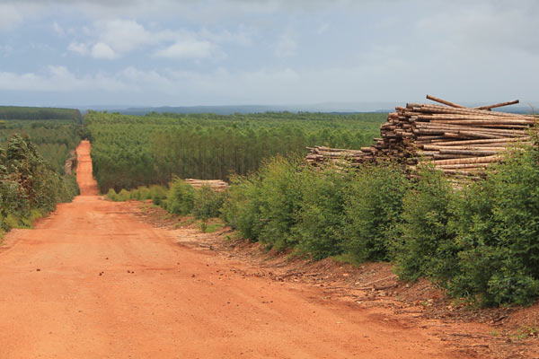 Eucalyptus logs lay on the side of the dirt road on the Plantar property. They are ready to be burned for charcoal and transformed into pig iron used in the manufacturing of automobile steel. Photo credit: Brendan Borrell
