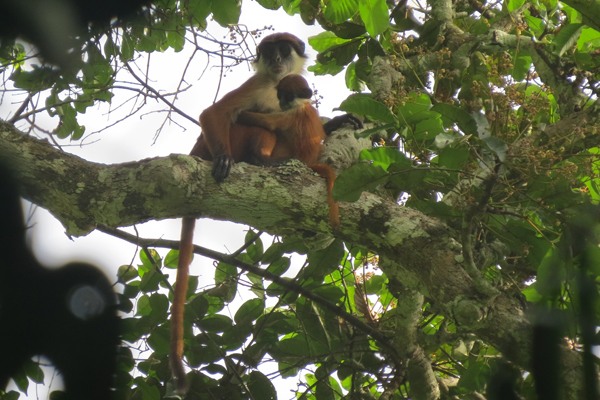 World's first photo of Bouvier's red colobus (Piliocolobus bouvieri) taken early March 2015 in the Ntokou-Pikounda National Park in the Republic of Congo. The photo shows an adult female with offspring. Photo by: Lieven Devreese.