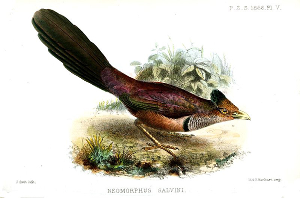 Illustration of the rufous-vented ground cuckoo (Neomorphus geoffroyi). Illustration by: Joseph Smit.