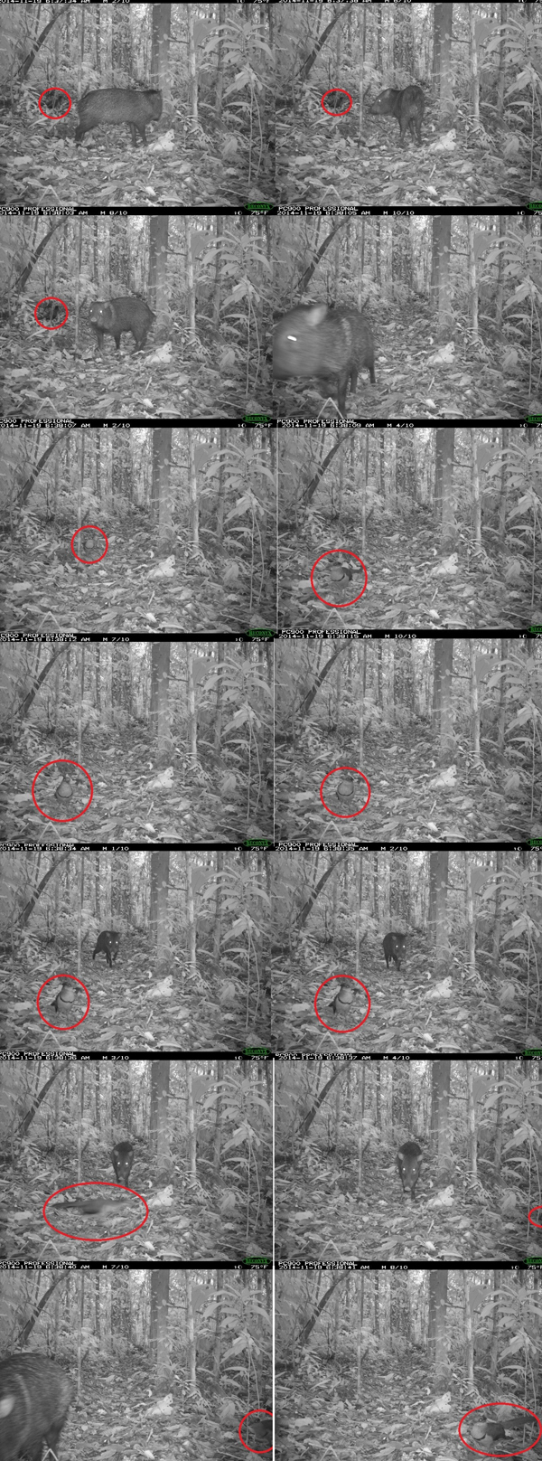 Series of camera trap photos showing relationship between rufous-vented ground cuckoo and collared peccaries. Photo courtesy of Renzo Piana.