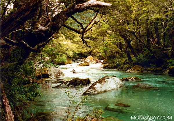 Forest on the South Island of New Zeland