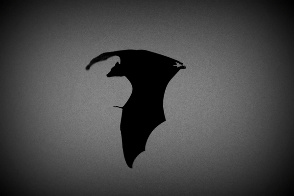 Silhouette of a Sunda flying fox. Photo by: Tiffany Roufs.