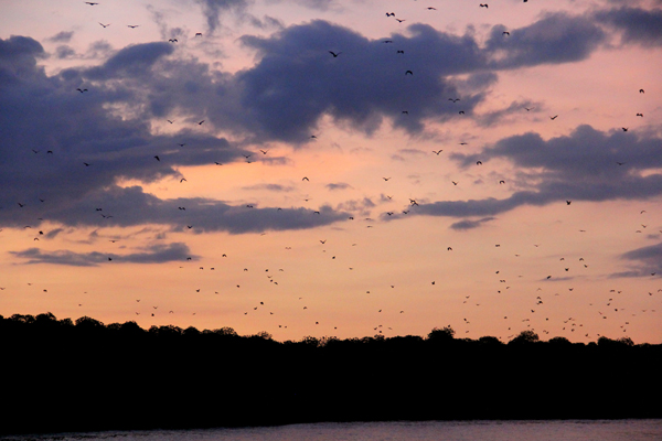 A seemingly uncountable number of bats taking off from the mangroves. Photo by: Tiffany Roufs.