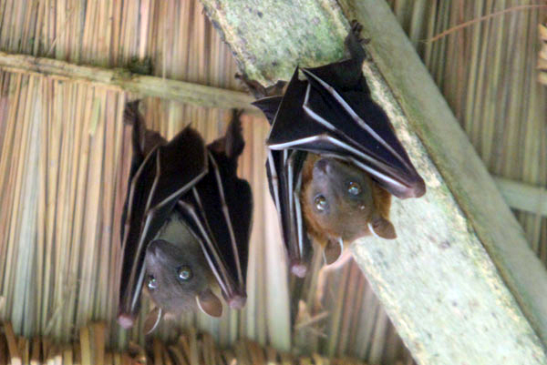 An unidentified species of fruit bat caught waking up in Sumatra. Photo by: Tiffany Roufs.
