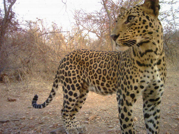 Camera trap photo of a leopard. Photo credit: Sanjay Gubbi/NCF/Panthera.