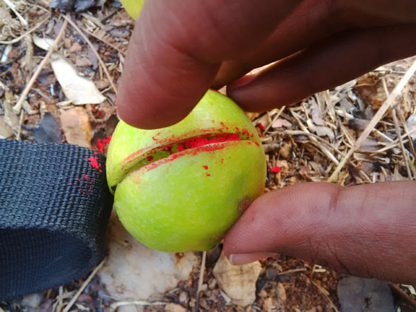 Creating a little black magic: vermillion is stuffed into a lemon before it is tied to a camera trap. Photo credit: Trupthi Narayan.