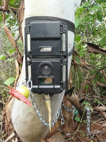 A triple protected camera trap, with chain, padlock, lemon and chili tied to it. Chilis, like vermillion, are commonly used in black magic. Some people even tie them to new cars to ward off the evil eye. Photo credit: NCF.