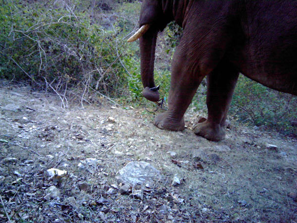 A camera trap records an elephant as it entwines a nearby camera trap in its trunk. Photo credit: Sanjay Gubbi/NCF/Panthera.