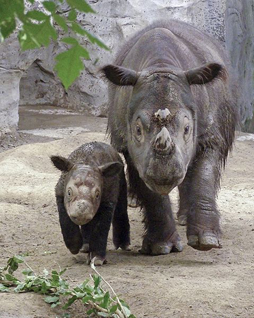 Mother Sumatran rhino, Emi, with her calf, Harapan in 2007. Emi died in 2009 after having three calves in captivity, a major milestone for Sumatran rhino conservation. Harapan is currently the only one of his kind still at the Cincinnati Zoo and in the Western Hemisphere. Photo by: W. Alan Baker.