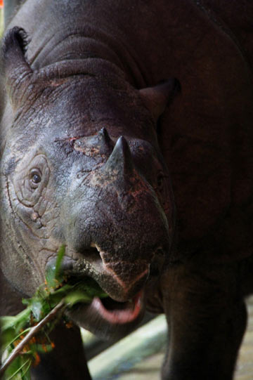 Bina having her breakfast. At around 30, Bina is the oldest of the world's captive Sumatran rhinos. Photo by: Tiffany Roufs.
