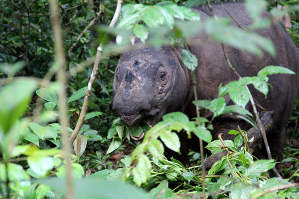 A female Sumatran rhino, Bina, in the Sumatran Rhino Sanctuary. Bina is the last survivor of 40 rhinos caught from the wild in the 1980s and 90s and taken to various zoos, a project that has long been considered a failure. Photo by: Tiffany Roufs.