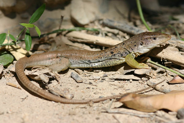 This newly discovered lizard species (Ameiva aggerecusans) is among 14 species of reptile and amphibian new to science recently found along the Marañón River. Researchers fear that the mega-dams projects will drown a treasure house of biodiversity. Photo credit: Claudia Koch.