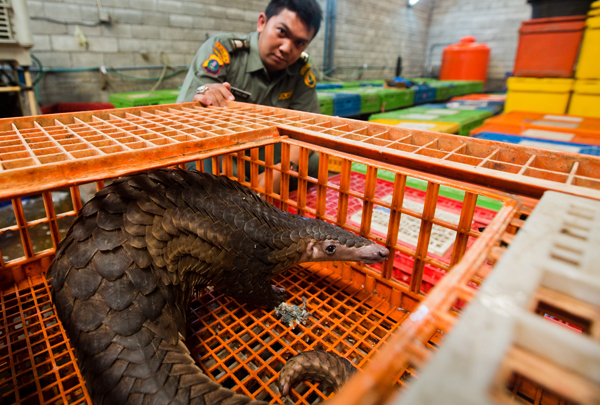 A live pangolin stares out from the poultry cage it had been locked in while an Indonesian law enforcement agent looks over. Photo by: Paul Hilton for WCS.