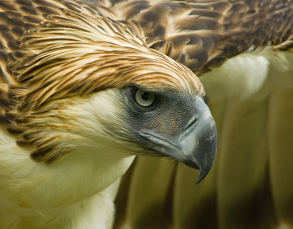 Philippine Eagle (Pithecophaga jeffery), captive, Philippine Eagle Center, Davao, Mindanao, Philippines. Image credit Klaus Nigge