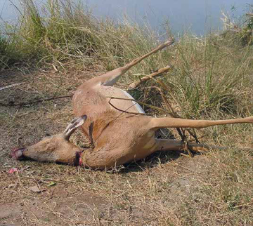 An impala killed in a wire snare. Snaring is one of the most insidious hunting methods as it indiscriminately injures, maims, or kills any animal that gets caught, including often non-target animals. They are also easy to produce and cheap. Photo by: Sokwanele - Zimbabwe.