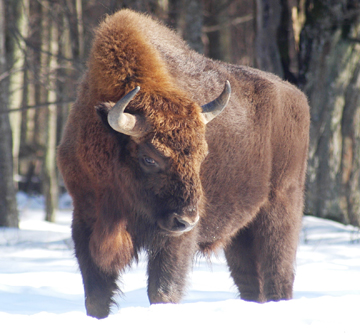 The European bison is considered Vulnerable by the IUCN Red List, but remains one of the great conservation success stories for megaherbivores. Several thousand survive in the wild today after going extinct in the wild in the 1920s. Photo by: Photo by Graham Kerley.