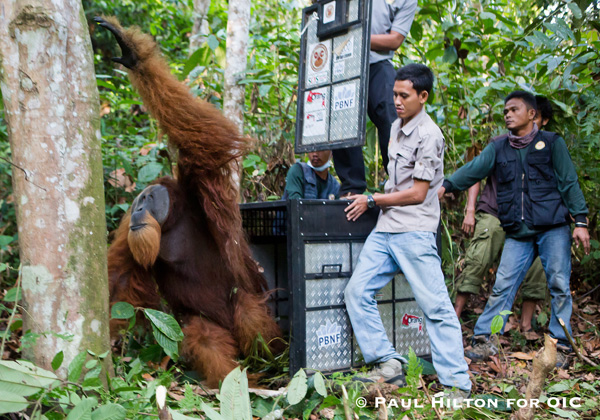 A large male Sumatran orangutan is released, some 50 kilometers from where he was rescued in the Leuser Ecosystem. Photo: Paul Hilton for OIC