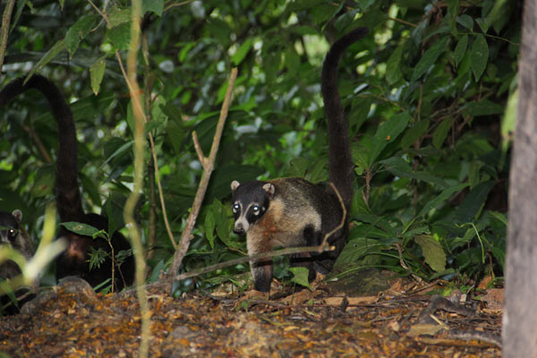 White-nosed coati at Pico Bonito Honduras. Photo credit: Pat Goudvis.