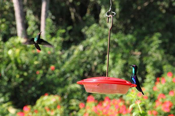Hummingbirds hover at Pico Bonito reserve. Photo credit: Pat Goudvis.