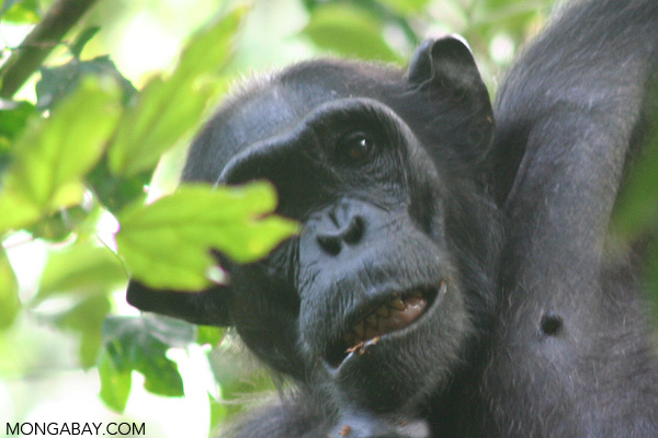 Wild chimp in Uganda