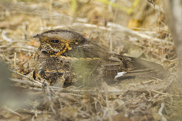 A Madagascar nightjar (Caprimulgus madagascariensis), which shares a genus with the endangered Itombwe nightjar (Caprimulgus prigoginei).