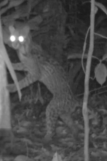 Ocelot on its hind legs against a tree looking for prey. Photo courtesy of camera trap video compilation from Tiputini Biodiversity Station.