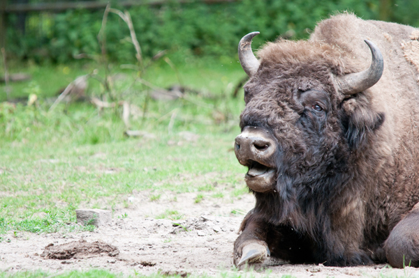 Captive bison in Germany. Photo by: Marcus Woelfle/Creative Commons 2.0.