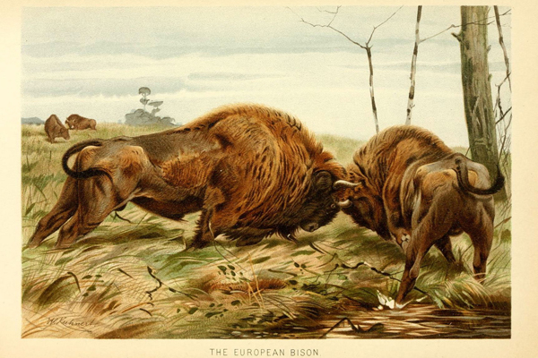 Painting of embattled European bison. Painting by: London, F. Warne, 1893-1896/Biodiversity Heritage Library