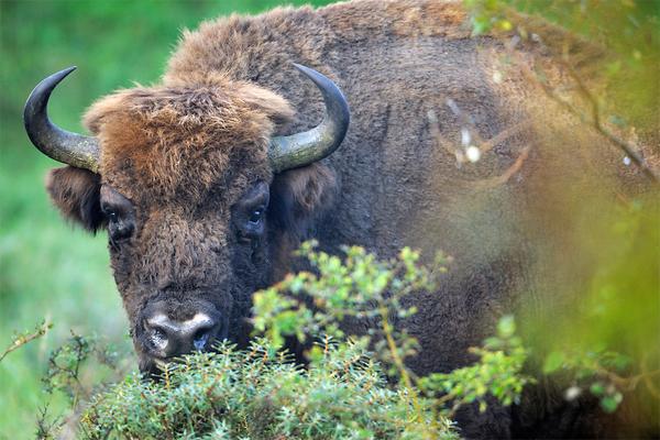 Bison in Zuid-Kennemerland National Park where the species inhabits grasslands and dunes instead of forest. Photo by: Rewilding Europe.