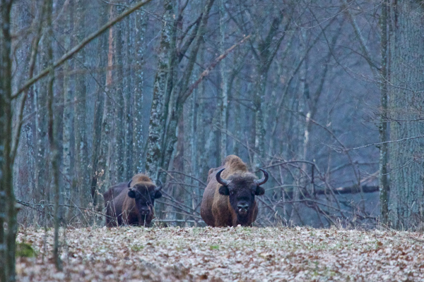 Bull bison in Białowieża Forest. Photo by: Lukasz Mazurek/Wild Poland.
