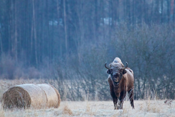 Bison next to a bail of hay for supplementary feeding. Photo by: Lukasz Mazurek/Wild Poland.