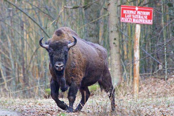 Bull European bison in Białowieża Forest photographed in March. Photo by: Photo by: Lukasz Mazurek/Wild Poland