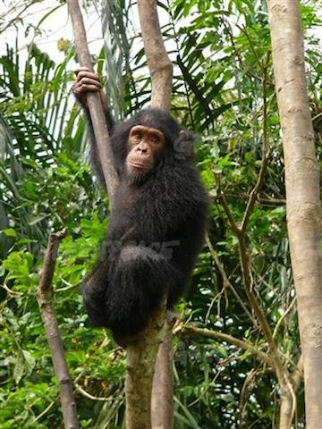 Cameroon's forests are home to two subspecies of chimpanzee (Pan troglodytes), which is listed as Endangered by the IUCN. Photo courtesy of Greenpeace Africa.